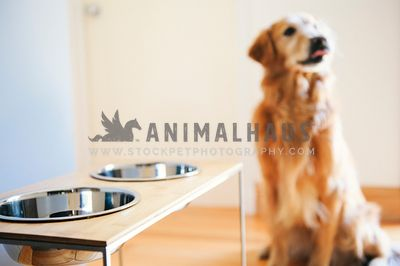Elevated dog bowls with a golden retriever licking her lips in the background