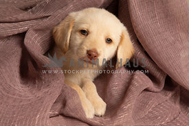 Cute little yellow lab puppy surrounded by pink blanket