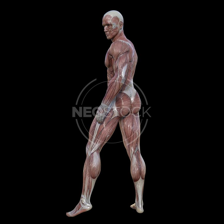 cg-body-pack-male-muscle-map-neostock-28