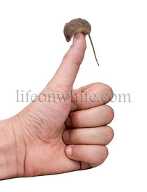 Harvest Mouse, Micromys minutus, perched on man's thumb, studio shot