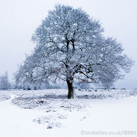 Lone tree with winter snow
