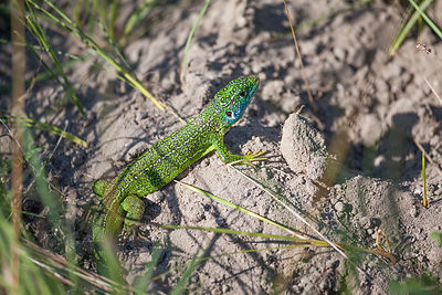 Lézard vert occidental (Lacerta bilineata) / Western green lizard