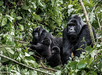 Family of moutanis gorillas, baby, mother and father, in virunga national park, DRC, Africa