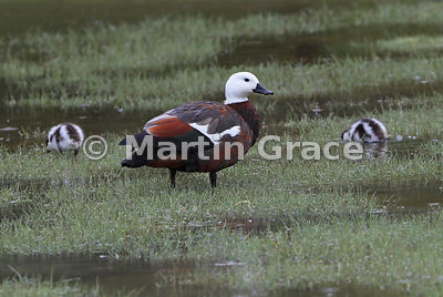 Female Paradise Shelduck (Tadorna variegata) with ducklings, Hooper's Bay, Dunedin, Otago, South Island, New Zealand