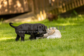 White, yellow and black puppies wrestling and playing in grass.
