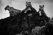 09039-Three_lions_on_a_rock_Kenya_2018_Laurent_Baheux