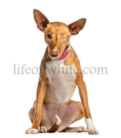 one-eyed Ibizan Hound (2 years old)