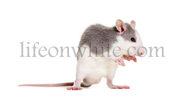 Young Rat against white background