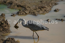 Heron playing with a tortoise, Pilanesberg Reserve