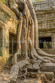 The huge roots of the silk-cotton tree growing over the temple of Ta Phrom within the Angkor temple complex in Siem Reap, Cam...