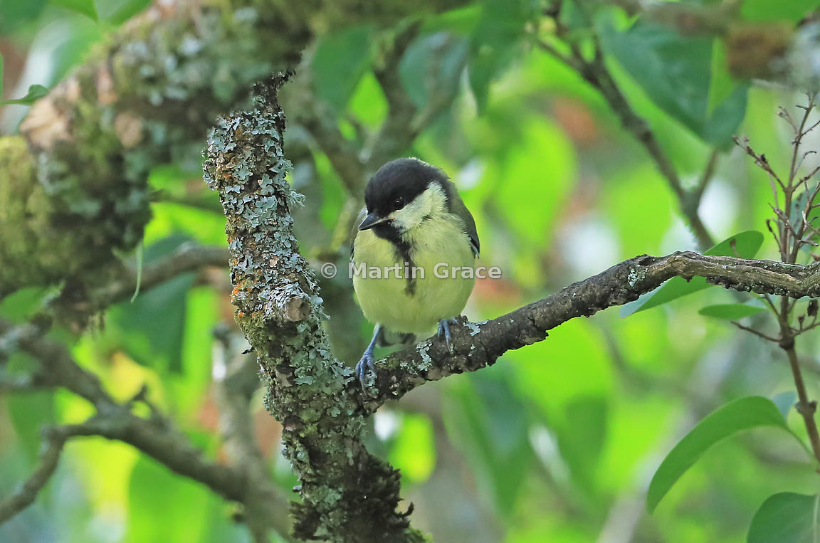 Juvenile Great Tit (Parus major) in an old garden Lilac tree (Syringa sp), Lake District National Park, Cumbria, England