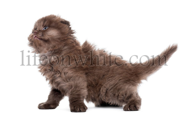 Side view of a Highland fold kitten, looking up, isolated on white
