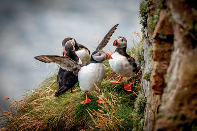 Puffin flapping wings on grassy ledge with three others
