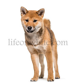 Shiba Inu dog standing against white background