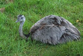 Closeup on the South American greater grey  Rhea americana
