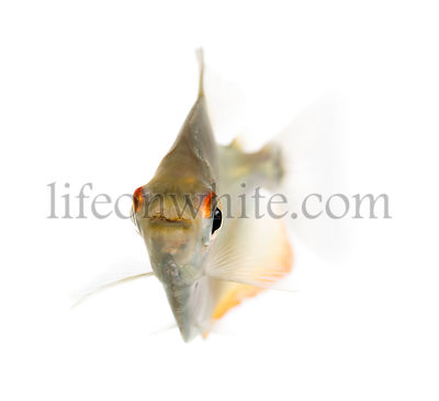 Mylossoma aureum swimming, isolated on white