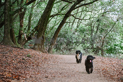Two portuguese water dogs walking down a path in the open forest