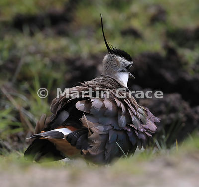 Northern Lapwing with ruffled feathers, from the rear, Badenoch & Strathspey, Scottish Highlands