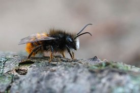 Lateral closeup of a male horned mason orchard bee,  Osmia cornuta waiting for some sun on a piece of wood