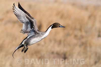 Pintail Anas acuta drake Bosque del Apache New Mexico USA January