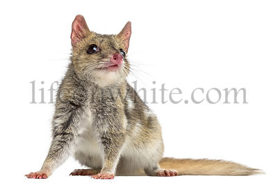 Quoll isolated on white