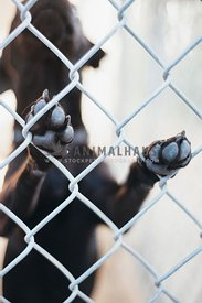 A close up of the paws of a large dog on the chain link at a shelter