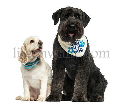 Bouvier des Flandres and American Cocker Spaniel sitting together, isolated on white