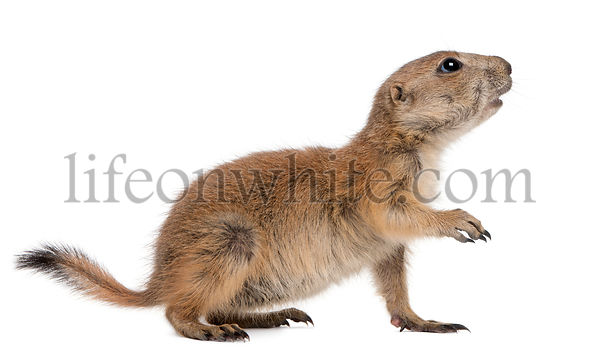 Black-tailed prairie dog, Cynomys ludovicianus, standing in front of white background
