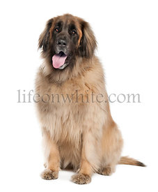 Leonberger (6 years old)