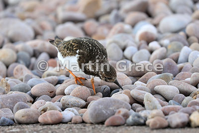 Ruddy Turnstone (Arenaria interpres) in winter plumage foraging for food among the pebbles of Sidmouth beach, Devon, England