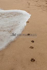 A wave washing away paw prints on the beach