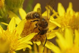 Closeup of a male Black-headed mining bee , Andrena nigriceps , on yellow flowers