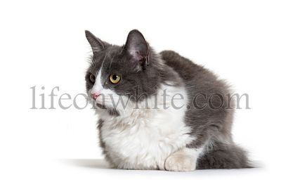 Kitten Crossbreed cat white and grey lloking away
