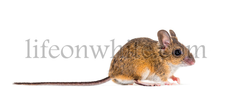 Eurasian mouse, Apodemus species, in front of white background