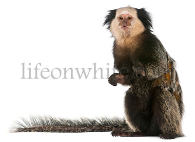 White-headed Marmoset, Callithrix geoffroyi, sitting in front of white background