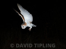 Barn Owl Tyto alba (wild) North Norfolk winter