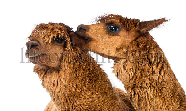 Alpaca biting another Alpaca's ear against white background