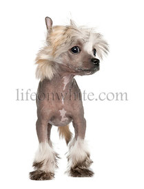 Chinese Crested Dog - Hairless puppy (3 months)