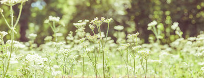 Cow Parsley, Elkstone, Cotswolds, UK