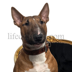 Close-up of a Bull Terrier puppy on a chair, 6 months old, isolated on white