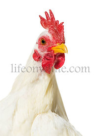 White chicken against white background