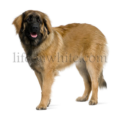 Leonberger dog, 8 months old, standing in front of white background