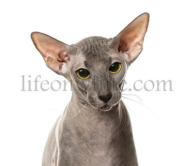 Close-up of Peterbald face