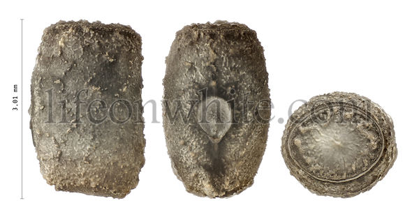 Red-striped stick insect\'s eggs, Anisomorpha monstrosa 3.1 mm, isolated on white