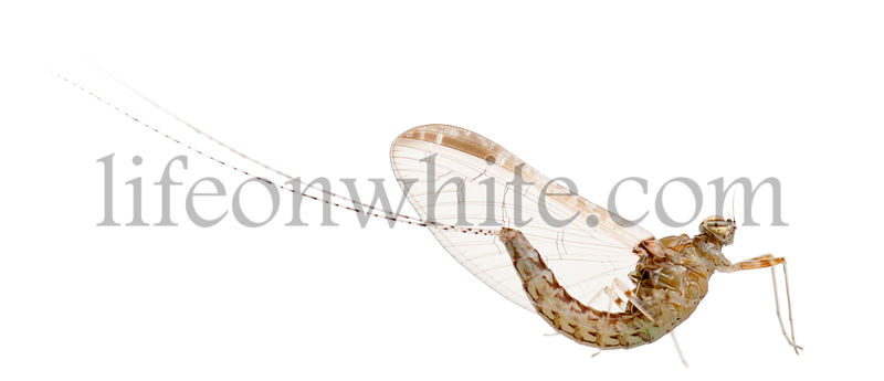 Mayfly, ephemeroptera, in front of white background