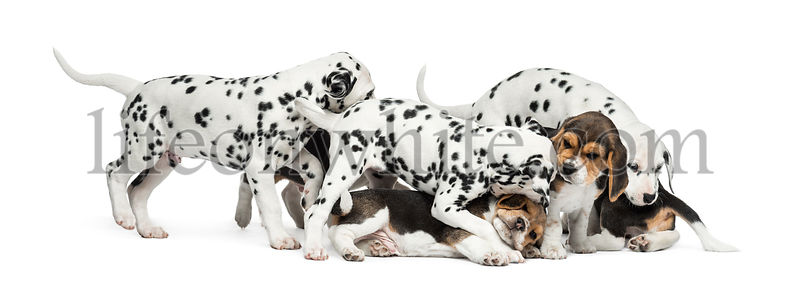 Group of Dalmatian and Beagle puppies playing all together, isolated on white