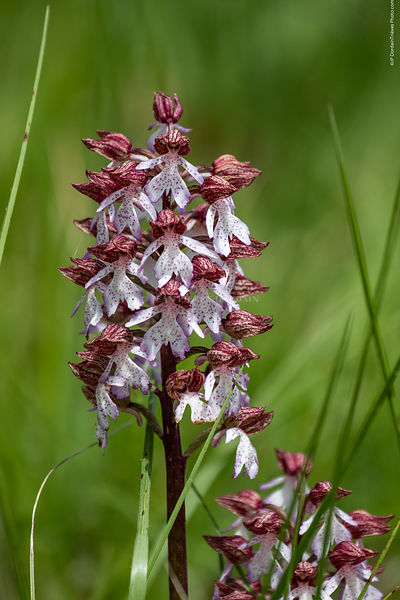 orchis_pourpre-79