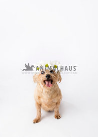 Tan small dog with daisy crown looking up with tongue out on white seamless paper with studio lighting