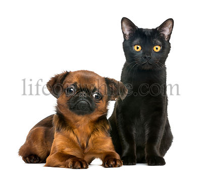 Bombay cat sitting next to Petit Brabancon, isolated on white