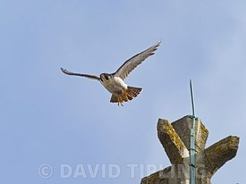 Peregrine Falcon, Falco peregrinus, adult around Cromer Church, North Norfolk, summer